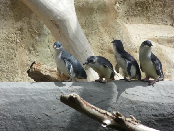Little penguins at the National Aquarium