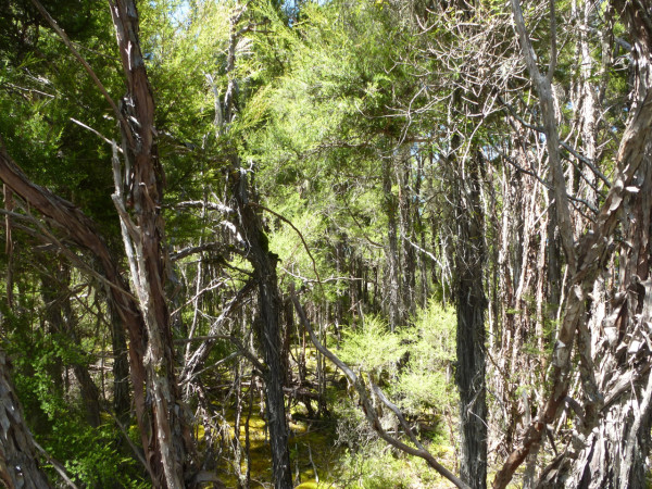 Wald mit Manuka und Kanuka Bäumen