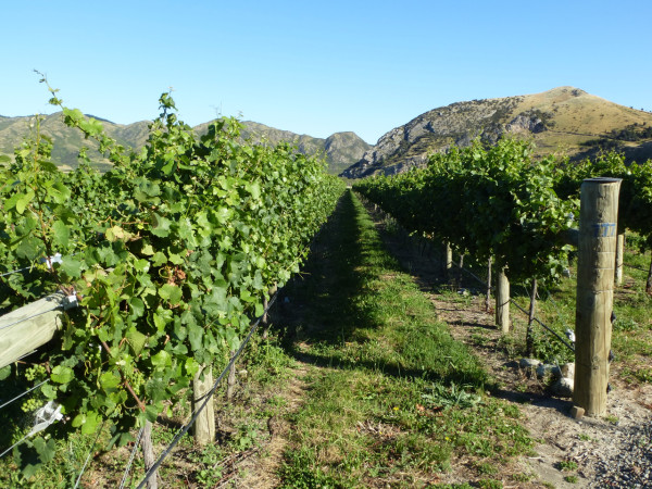 Weingärten in Neuseeland